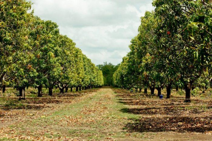plantation-of-mango-trees