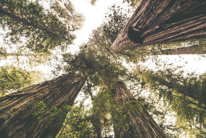 The Redwood Place. Scenic Redwood Forest. Tallest Trees.
