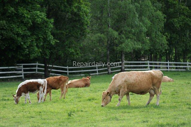 cows grazing cattle fence
